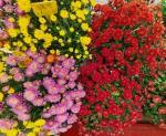 Разсади цветя-есенни
