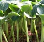 Семена за подложки' Profi