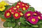 Разсади цветя-пролетни