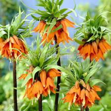 Фритилария /Fritillaria imperialis 'Prolifera'/ 1 бр