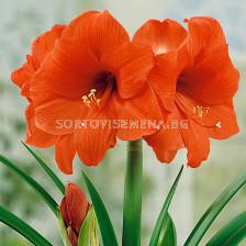 Амарилис /Hippeastrum 'Orange Souvereign' /1 бр