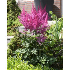 Астилбе / Astilbe To Have and to Hold / 1 бр