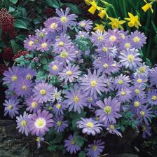 Анемоне /Anemone blanda  Violet Star / 1 бр
