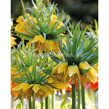 Фритилария /Fritillaria imperialis Maxima Lutea'/ 1 бр