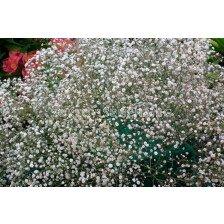 Гипсофила бяла / Gypsophila alba / 2 бр