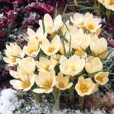 Минзухар Cream beauty