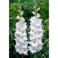 Гладиол (Gladiolus) Essential