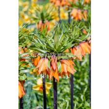 Фритилария /Fritillaria imperialis 'Garland Star'/ 1 бр