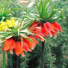 Фритилария /Fritillaria imperialis 'Rubra Maxima''/ 1 бр