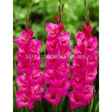 гладиол (Gladiolus) Fidelio