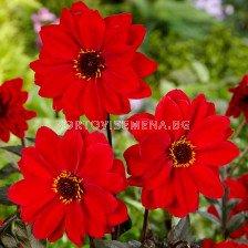 далия Paeonia Flowering Bishop of Llandaff