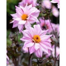 далия Paeonia Flowering Bishop of Leicester