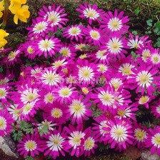 Анемоне /Anemone blanda Pink Star / 1 бр