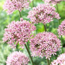 Декоративен лук  Pink Jewel 1 бр