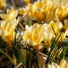 Минзухар chrysanthus Romance