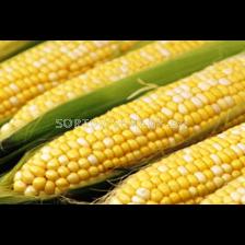 царевица фуражна - Кнежа 613 - 1кг