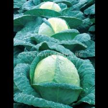 Семена зеле Алманак F1