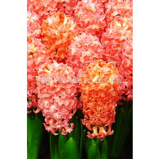 Зюмбюл (Hyacinth) Odysseus (двуцветен)