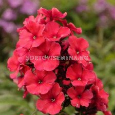 Флокс /  Phlox Paniculata Miss Mary / 1 бр