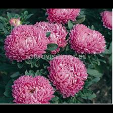 Астра / Callistephus chinensis dwarf Milady pink/ LG - 1 оп