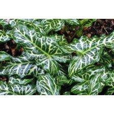 Арум italicum 'marmoratum' 4/6 - 1 бр