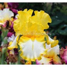 Ирис жълто с бяло / iris germanica fringed of gold / 1 оп