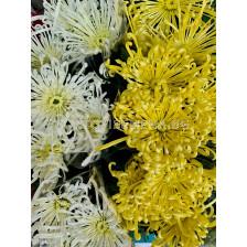 Хризантема (3 корена)