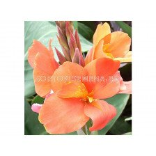 Канна /canna Peach blush/ 1 бр