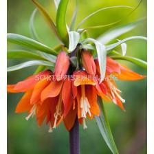 Фритилария /Fritillaria imperialis 'Orange Beauty''/ 1 бр