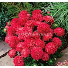 Астра / Callistephus chinensis dwarf Milady red/ LG - 1 оп