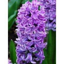 Зюмбюл (Hyacinth) Splendid Cornelia 14/15