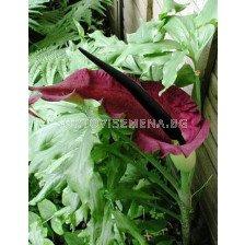 Арум (Dracunculus vulgaris)
