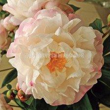Божур / Paeonia Gardenia / 1 бр