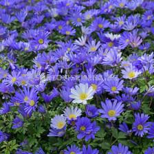 Анемоне /Anemone blanda  Blue Shades / 1 бр