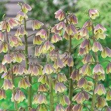 Фритилария / Fritillaria 'Green Dreams' / 1 бр
