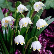 Блатно кокиче /Leucojum vernum/ 1 бр