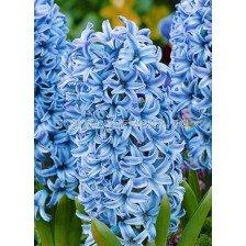 Зюмбюл (Hyacinth) Blue Giant 14/15