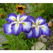 Ирис / Iris ensata Gusto / 1 бр