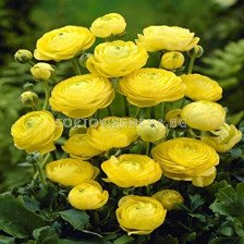 Ранункулус жълт 1 бр