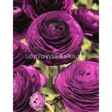 Ранункулус Tomer purple