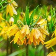 Фритилария /Fritillaria imperialis 'Early Magic''/ 1 бр