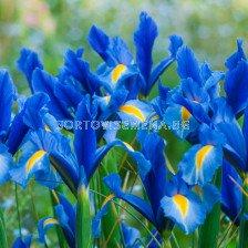 Ирис  /Iris 'Sapphire Beauty'/ 1 бр