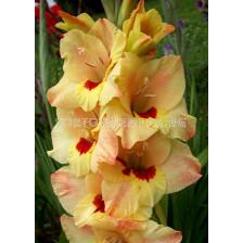 Гладиол (Gladiolus) Bocelli