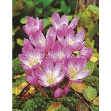 Колхикум /есенен минзухар / Colchicum Rosy Dawn 1 бр