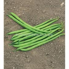 Семена зелен фасул Серенгети F1 Syngenta 1 оп -100 000 сем