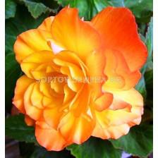 Бегония (Begonia) Cascade Picotee 4/5