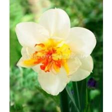 Нарцис (Narcissus) Charlotte Vreeburg 14/16