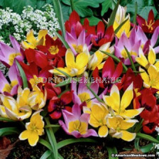 Лале (Tulip) Botanic Mix 11/12