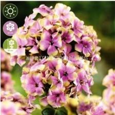 Флокс Paniculata Sherbet Blend - 1 оп (1 коренище)