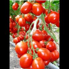 Сорт домати Бенито F1. Аграра ООД. Сортови семена Дар.